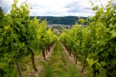 Bílé hrozny, podzimní vinice