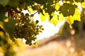 autumn vineyard and organic grapes on vine branches