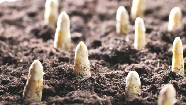 close-up view of asparagus growing on soil at bio farm, fresh product and agriculture concept