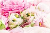 Perské pryskyřníky. Krásné světle růžové Pryskyřník květiny pozadí. Tapeta, horizontální obraz