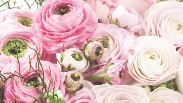 Perzsa buttercups. Gyönyörű halvány rózsaszín Ranunculus virágok vízcseppek