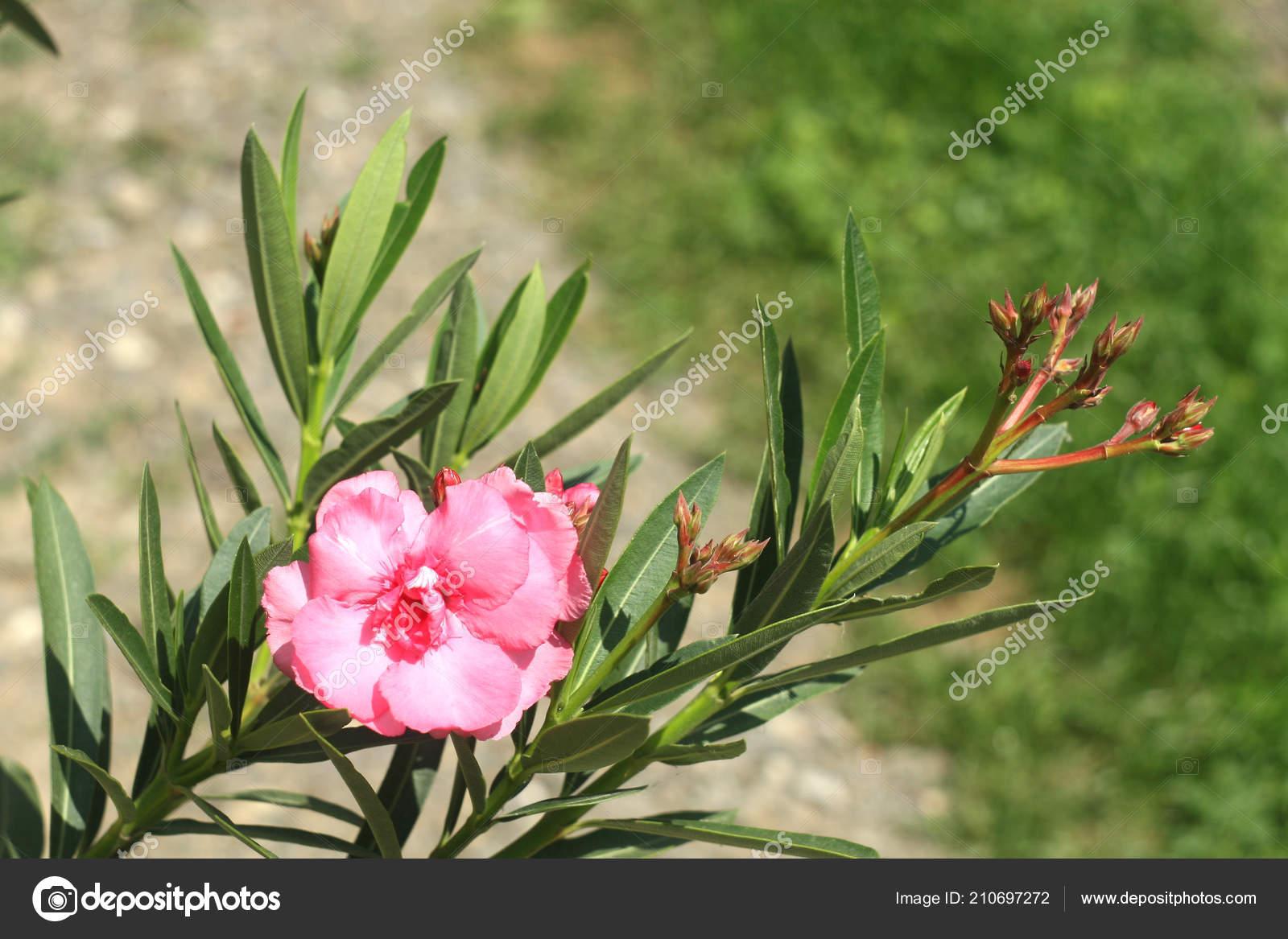 nerium oleander leander pink stock photo pantherius 210697272