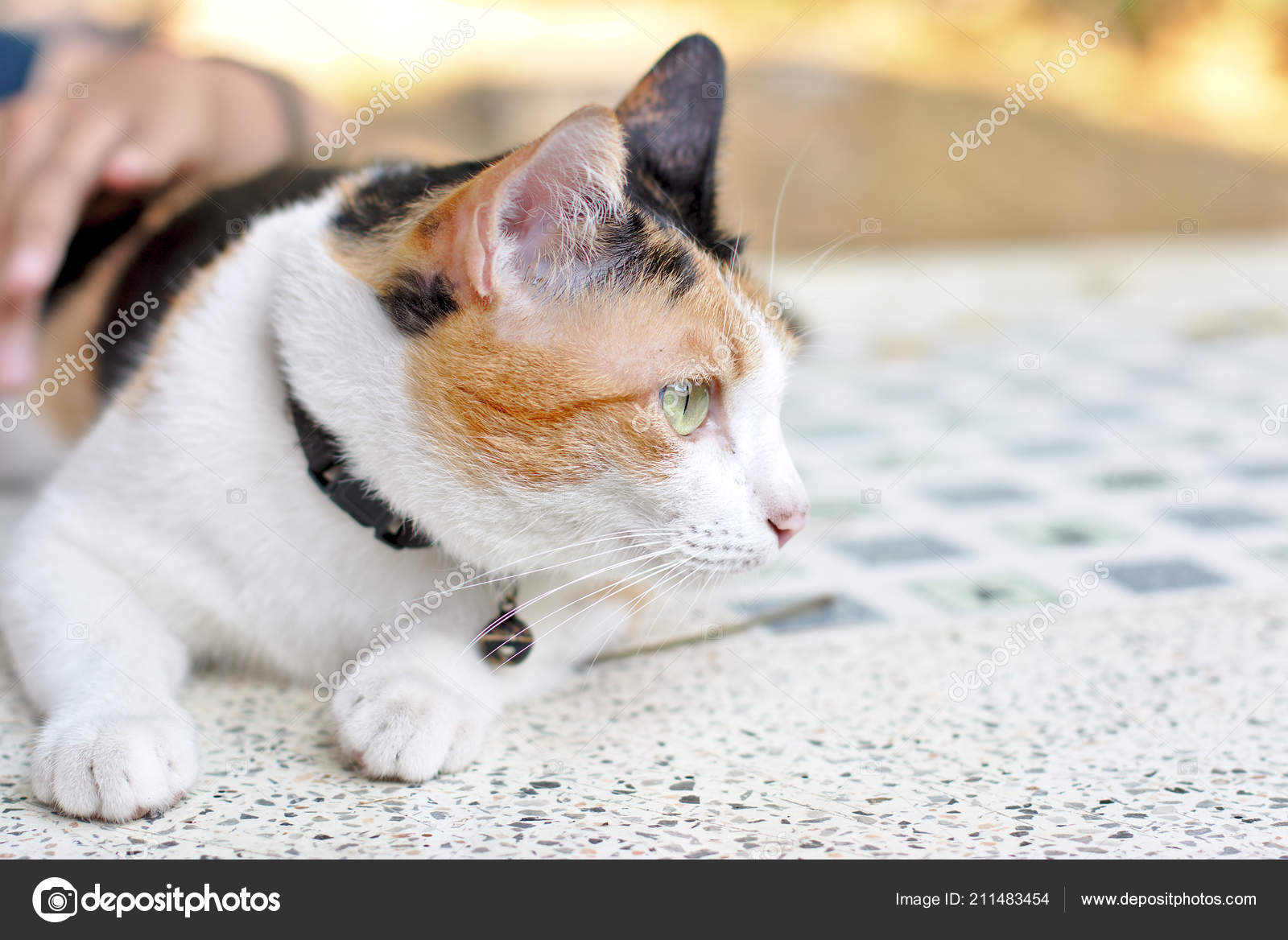 067f125005f Calico Cat Cute Tortoiseshell Cat Eye Looking Something — Stock Photo