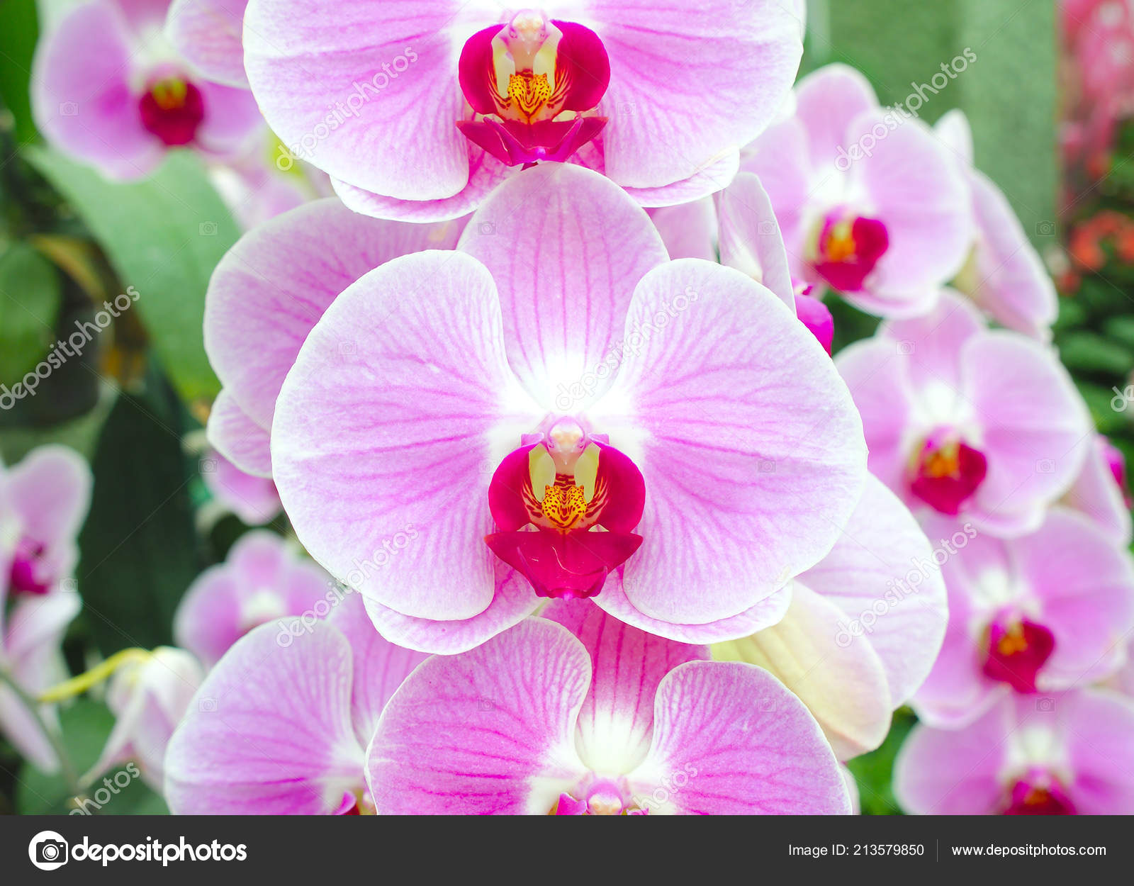 Beautiful Pink Orchid Flower Nature Background Stock Photo