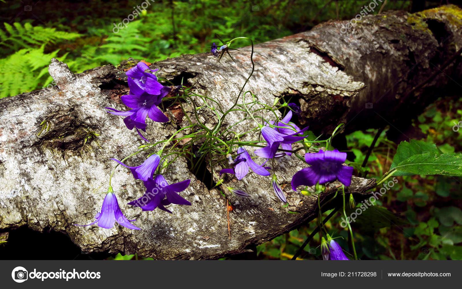 Purple Small Flowers Grow Tree Bark Stock Photo C Okesan Yandex