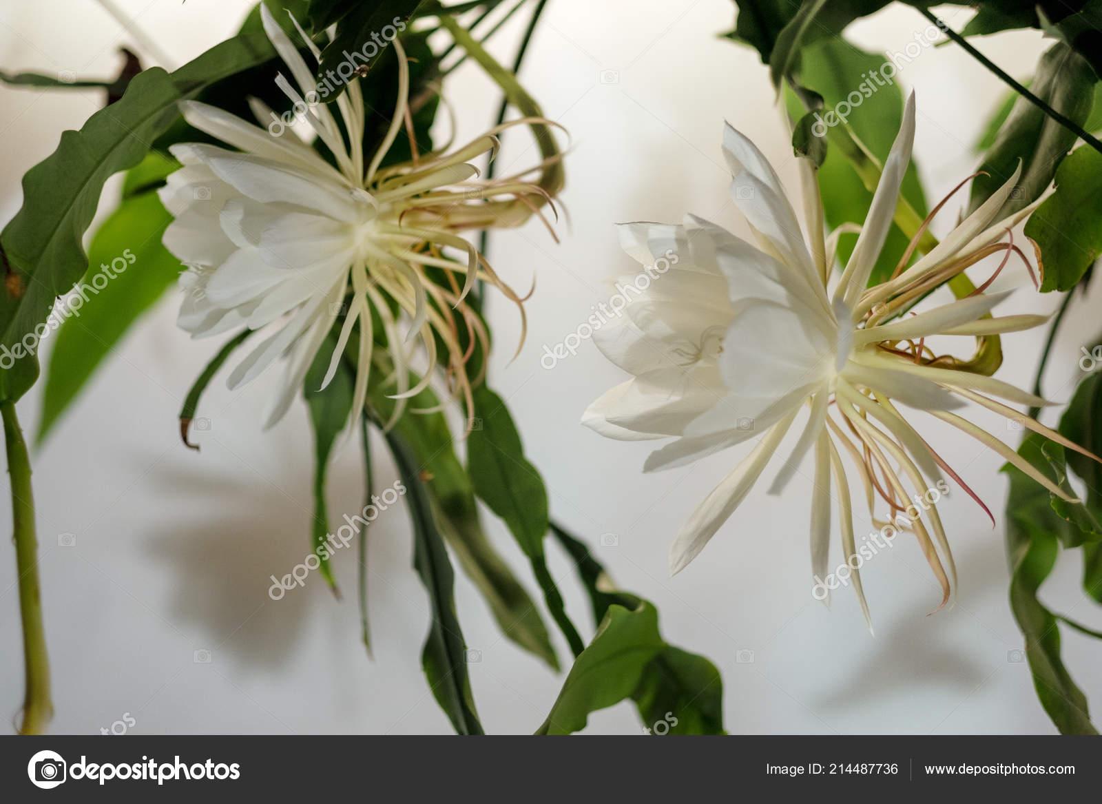 die konigin der nacht dama de noche epiphyllum oxypetalum arten von kakteen pflanze produziert nacht bluhenden duftende grossen weisse bluten