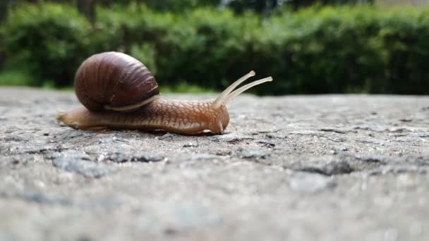 A large brown beautiful grape snail crosses an asphalt road. Slow motion of a snail. Time flow. Defocus. Greenery in the background