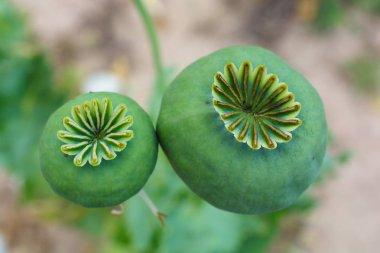 opium, poppy capsule