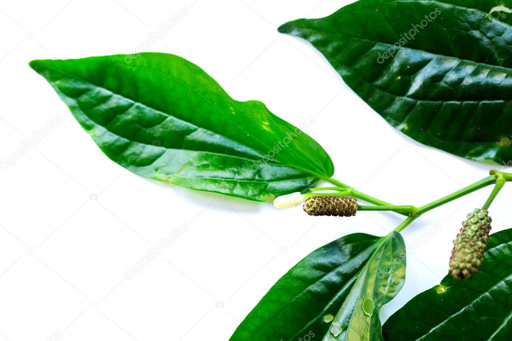 leaves and flower of Wildbetal Leafbush (Piper sarmentosum Roxb) on white isolated background. Herbal and medicine also can cook for food.
