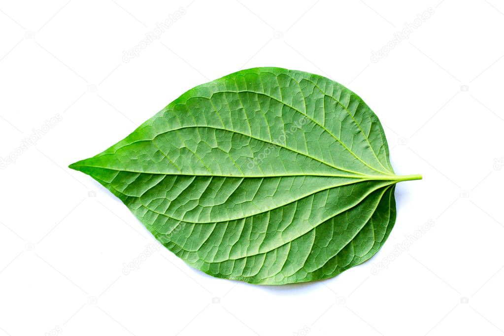 leaves of Wildbetal Leafbush (Piper sarmentosum Roxb) on white isolated background. Herbal and medicine also can cook for food.