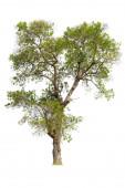 Fotografie Strom pro řezání pro použití jako surovina pro editaci. izolované krásné čerstvé zelené opadavé mandlový strom na bílém pozadí s výstřižkem cesta.