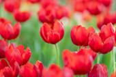 vörös tulipán a kertben