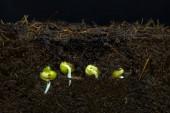 The beans are sprouting the roots up to moist soil.