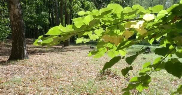 Wind schwingt grünen Zweig der Linde im Stadtpark bei sonnigem Herbstbeginn