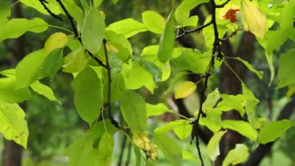 wet green and yellow leaves of pear tree in park in autumn rain