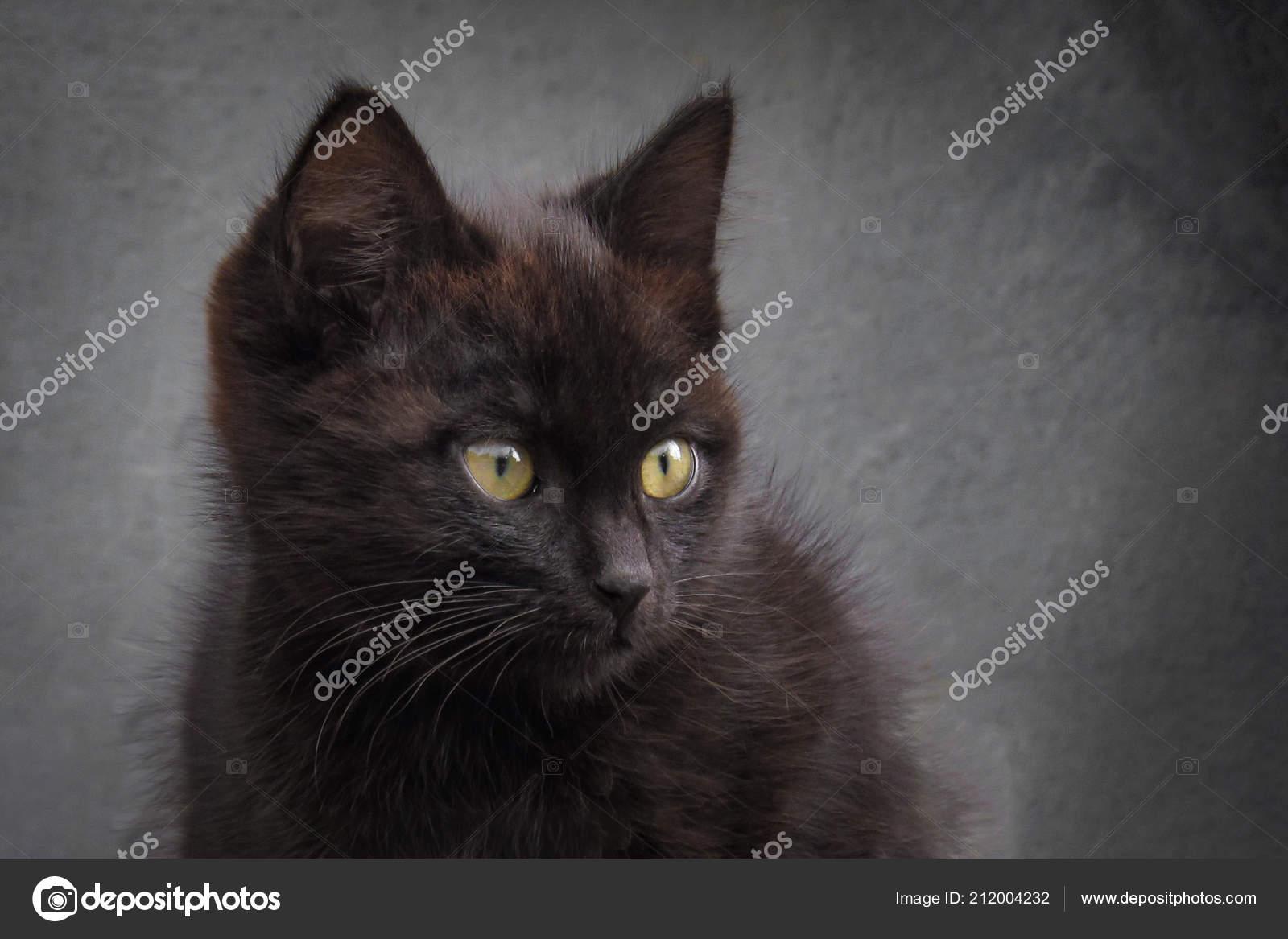 nero britannico micio