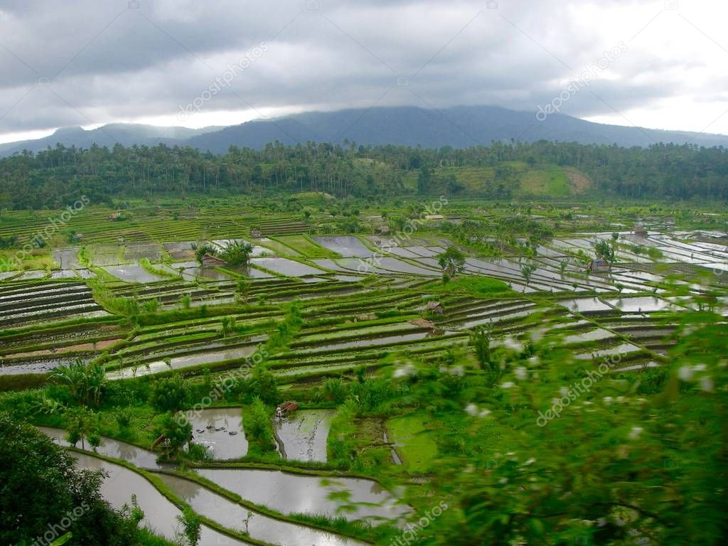 Ricefield in Bali with water and flowers