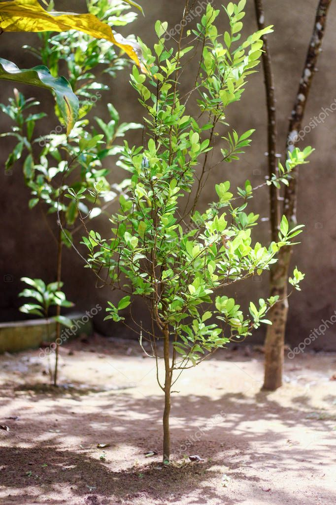 Erythrxylum cca in the garden of green plants, spices and ayurvedic medicine, Sri Lanka, Asia