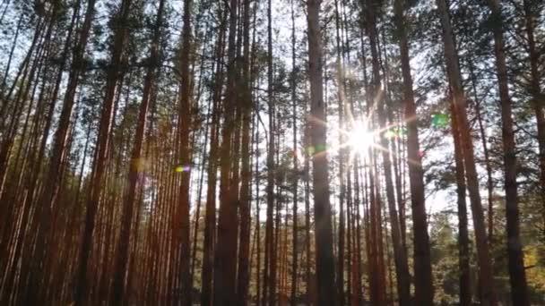 Akumulující paprsky procházejí stromy. Borový les.