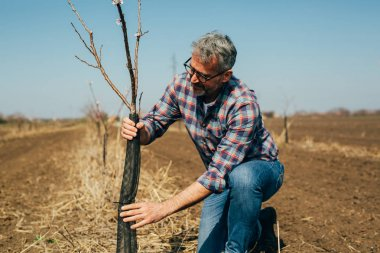 Worker protecting tree from rodents in orchard