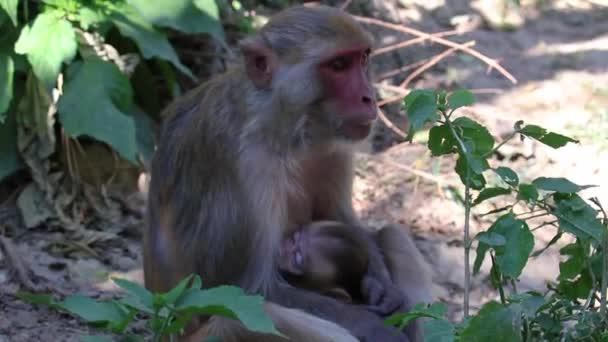 Mother monkey breastfeeding baby monkey