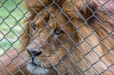 lion behind a fence in an Australian Zoo