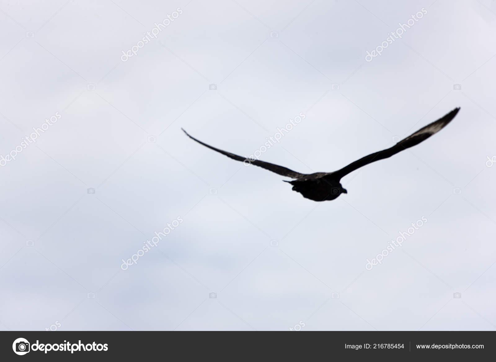 Antarctica Giant Antarctic Petrel Close Flight — Stock Photo