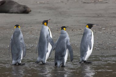 South Georgia King penguin closeup on a sunny day