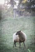 sheep grazing in green pasture at sunny day
