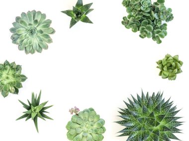 fresh green succulent plants isolated on white background, close-up