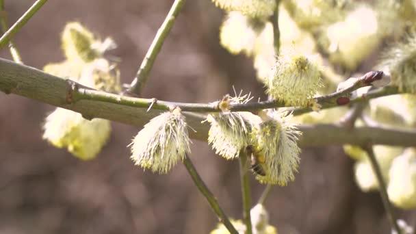 Přinášejí včely nektar z bílé květy Kvetoucí strom na rozostřené pozadí přírody