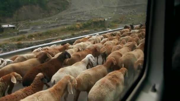 Big Herd Sheep Walking Roadside Shepherd View Moving Local