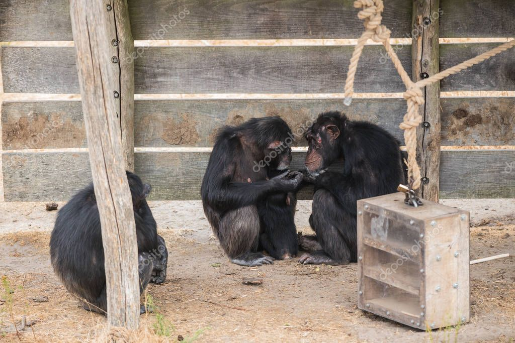 a worried Common chimpanzee sits at an old chimpanzee with lots of love she looks at him
