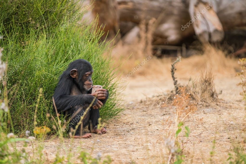 a young Common chimpanzee is watching an ice cream of food how he can eat it