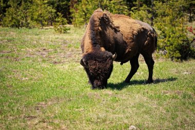 American Bison in Yellowstone National Park, Wyoming, USA.