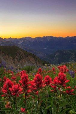 beautiful  wildflowers, Timpanogos, Utah, USA