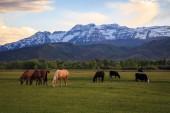 koně a krávy pasoucí se na údolí Heber, Utah, Usa