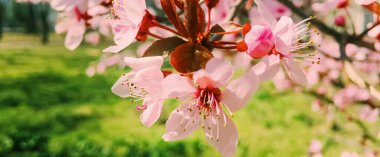 Apple tree flowers bloom, floral blossom in spring