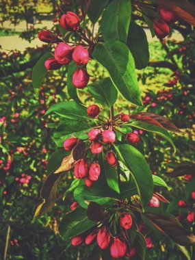 """Картина, постер, плакат, фотообои """"Красные ягоды на деревьях на закате весны"""", артикул 383540868"""
