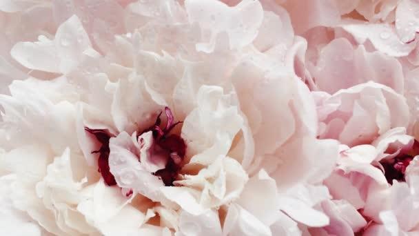 Krásné pivoňky v květu, pastelové pivoňkové květy jako dovolená, svatba a květinové zázemí