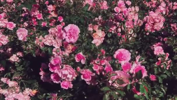 Csodálatos rózsa kert, virágzó rózsaszín rózsa napsütéses napon szabadban, mint a természet, virágok és virágos háttér