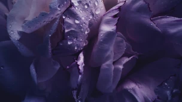 Tmavě fialové pivoňky v květu, fialové pivoňkové květy jako sváteční, svatební a květinové pozadí