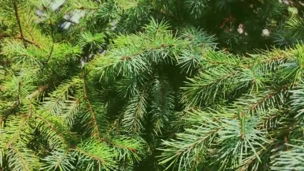 Fir tree branch close-up, as nature, Christmas holiday and evergreen plant background