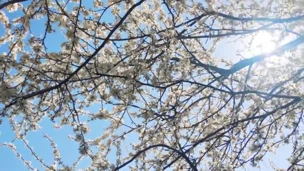 Blooming apple tree and blue sky in springtime, white flowers in bloom, floral and nature