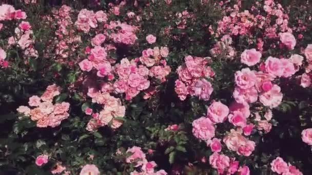 Nádherná růžová zahrada, kvetoucí růžové růže za slunečného dne venku jako příroda, květiny a květinové pozadí