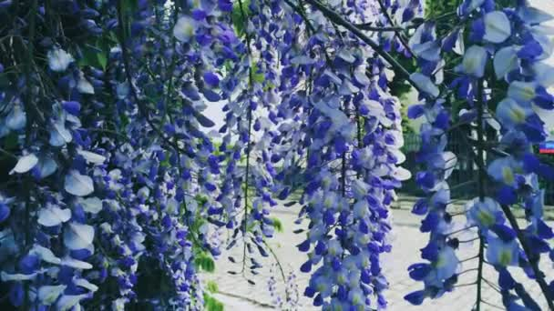 Violet wisteria virágok és levelek a botanikus kertben, mint virágos háttér, természet és virágzás