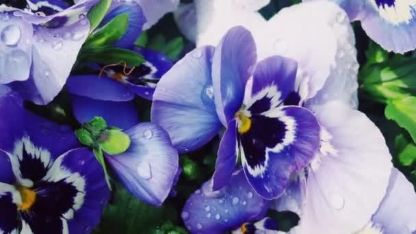 Fialové květy s ranní rosou kapky vody v zahradě jako příroda, květinářství a zahradnictví
