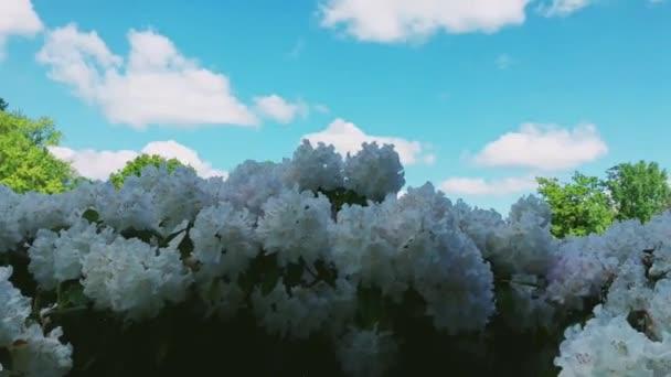 Bílé rododendron květiny v botanické zahradě jako příroda, dovolená a květinové pozadí