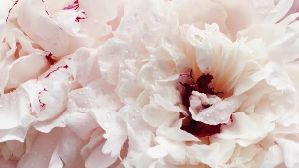 Beautiful peonies in bloom, pastel peony flowers as holiday, wedding and floral background