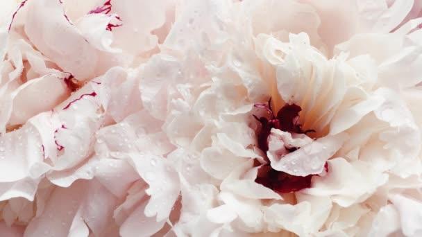 Schöne Pfingstrosen in voller Blüte, pastellfarbene Pfingstrosen als Urlaub, Hochzeit und floraler Hintergrund